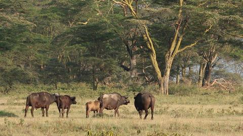 African buffalos 04 Footage