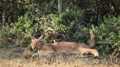 Caracal in natural habitat Footage