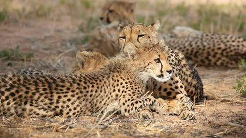 Cheetah with cub Footage