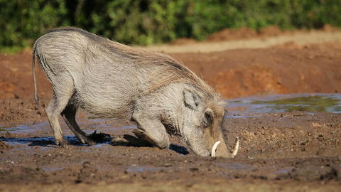 Warthog drinking water Footage