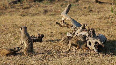 Playful meerkats Footage