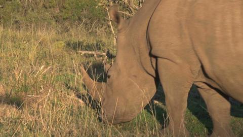 Rhino Grassing Stock Video Footage