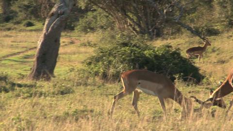 Deers fighting Footage