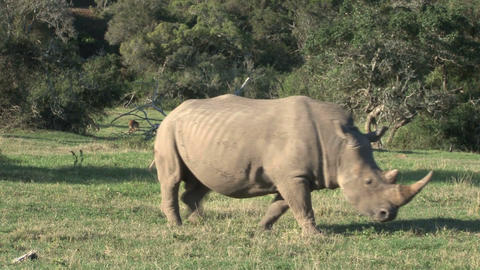 Rhino Grassing Footage