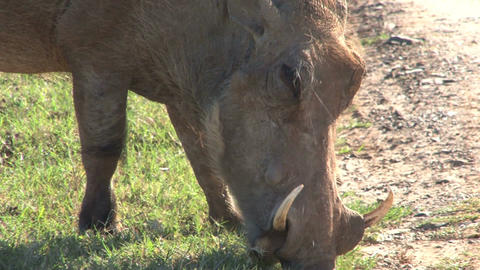 Warthogs Eating Grass Stock Video Footage