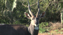 Bush buck Stock Video Footage