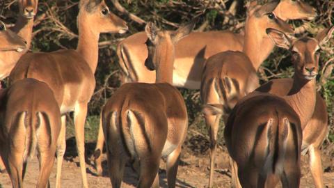 Group deers Footage
