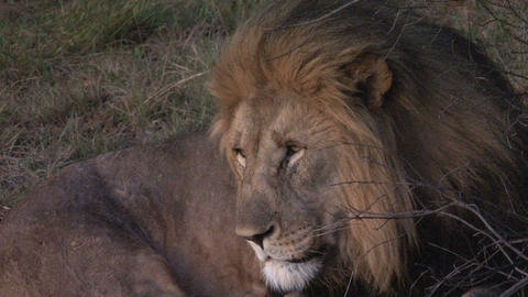 Lion close-up Stock Video Footage