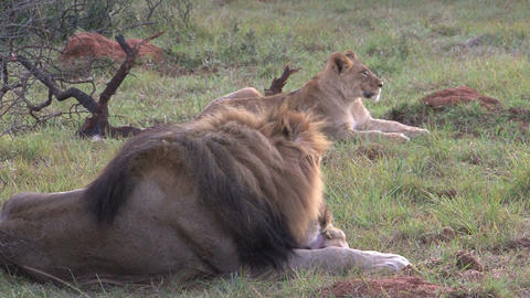 Lion Cleaning His Nose Stock Video Footage