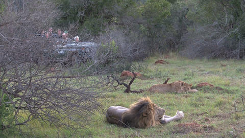 Lions sleeping, lions safari, tourist in car Footage