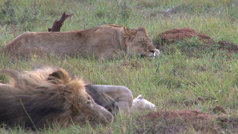 Lions sleeping Stock Video Footage