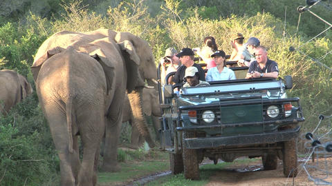 Elephants Safari South Africa Stock Video Footage
