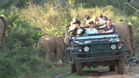 Elephants Safari South Africa stock footage