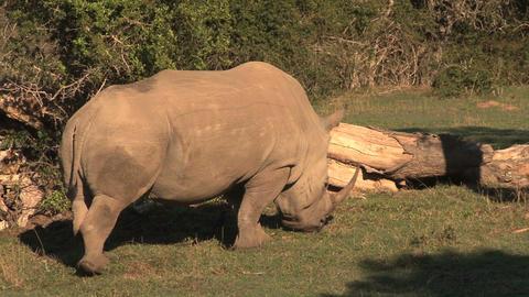 Rhinos Stock Video Footage