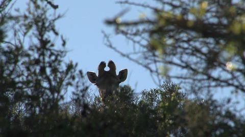 Giraffe looks over trees Stock Video Footage
