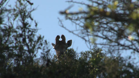 Giraffe looks over trees Stock Video Footage