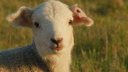 Cute Young Lamb Looking at the Camera and Bleating Footage