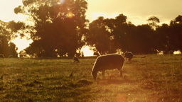 Sheep and Lamb Grazing at Sunset Footage