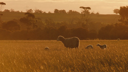 Ewe and Lambs Wandering Across Field at Sunset Footage