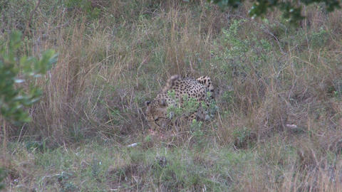 Cheetah eating animal Stock Video Footage