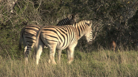 Zebras in grassland Footage