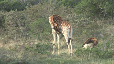 Giraffes, mother and child Footage