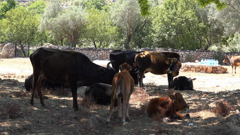 Cattle breeding , cows have a rest Stock Video Footage