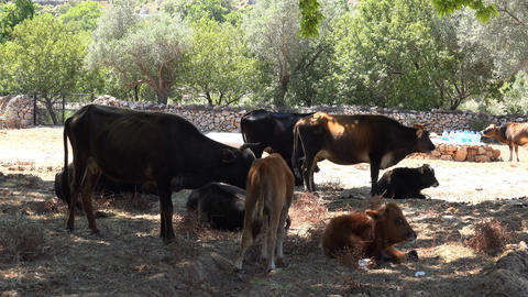Cattle breeding , cows have a rest Footage