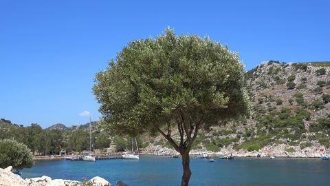Olive tree in Turkey Stock Video Footage