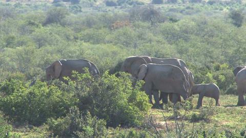 Big group of elephants at pond Footage