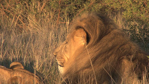Lions relaxing in the sun Stock Video Footage