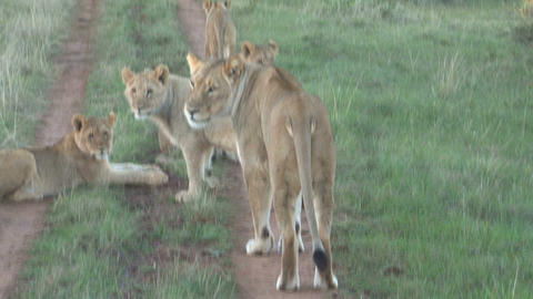 Group of lions on ground Footage