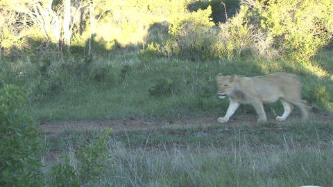 Lion passing by Stock Video Footage
