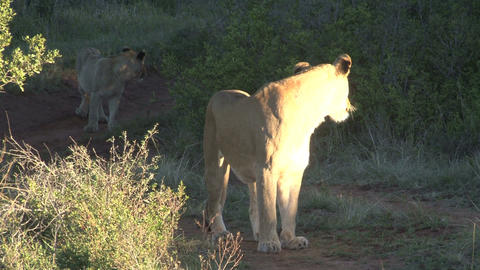 Lion waits on his group Footage