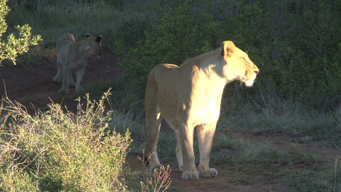 Lion waits on his group Stock Video Footage