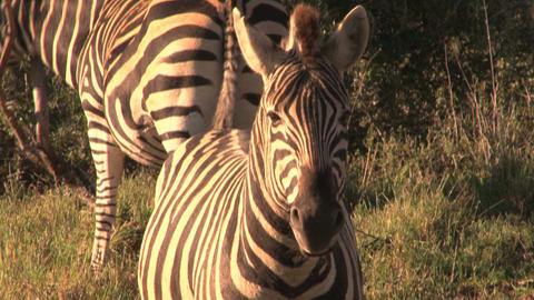 Zebras Stock Video Footage