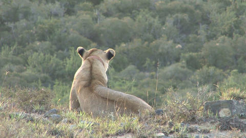 Lion at sunset Stock Video Footage