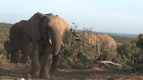 Big group of elephants walking in landscape Footage
