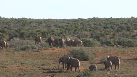 Big group of elephants walking in landscape Stock Video Footage