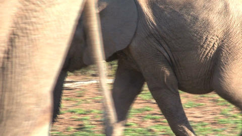 Elephant eating Footage
