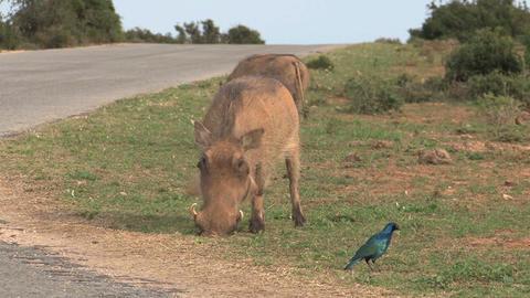Warthogs Eating Grass Footage