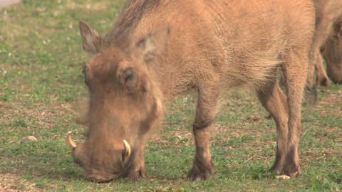Warthog Eating Grass Stock Video Footage