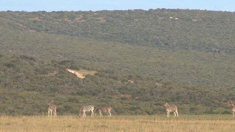 Group of zebras in grassland Footage