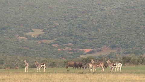 Zebra in landscape, buffalos Footage