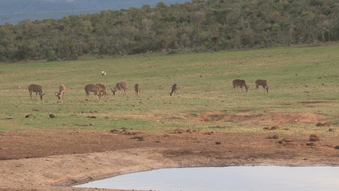 Zebra at pond drinking Stock Video Footage