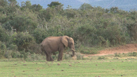 Elephant, fox passing by Footage