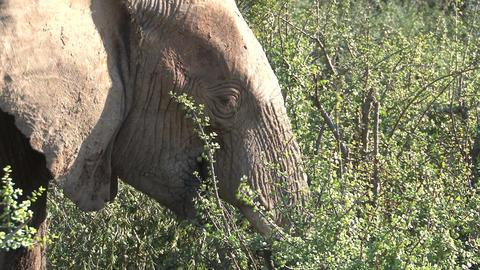 Elephant eating leafs Footage
