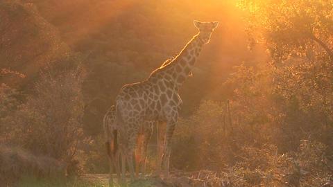 Giraffe looking, sunset Stock Video Footage