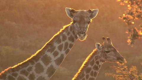 Giraffe looking, sunset Footage