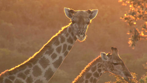 Giraffe looking, sunset Stock Video Footage